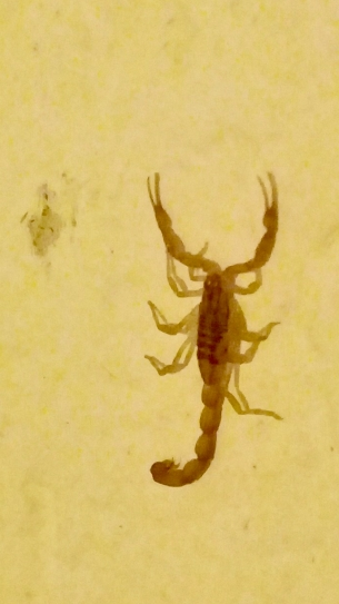 This is an Arizona bark scorpion that I found on the wall of my bathroom in Mexico on the night of March 14th, 2019. They are the most poisonous scorpions in Mexico.